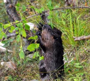 Beaver (photo: Michael Patrikeev)