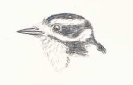 Downy Woodpecker - Illustration by Fiona Reid