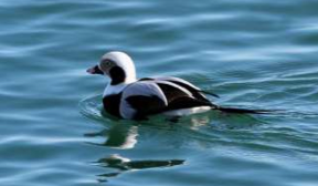 Long-tailed Duck (Fiona Reid_