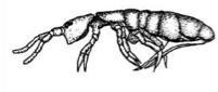 Figure 1. Diagram of a Snow Flea