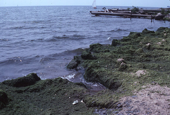 Figure 1. Cladophora on shore of Lake Ontario at Lorne Park, Mississauga, 1969. Photo from Mississauga Public Library collection.