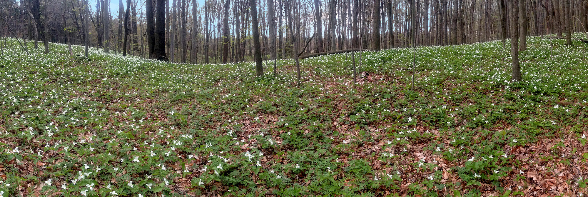 Trilliums at Backus Woods
