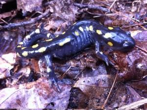 Yellow-Spotted Salamander. Photo by Matt Ellerbeck.