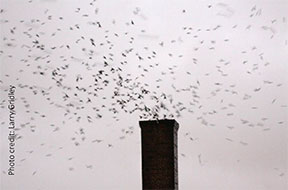 swifts_chimney