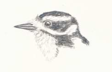Downy Woodpecker - Illustration by Fiona Reid