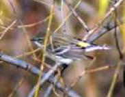 Yellow-rumped Warbler (Jim Hughes)