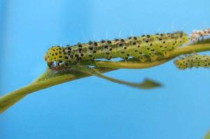 Figure 2. Larva of Hypena opulenta