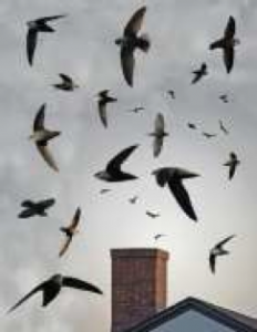 """Figure 2. Chimney swifts circling a chimney before funneling in and roosting for the night. Source: """"Chimney Swift From The Crossley ID Guide Eastern Birds"""" by America_Federal_Provincial_y_Departamental is licensed under CC BY 3.0"""