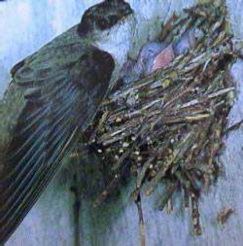 "Figure 3. Chimney swift nest. Source: ""ChimneySwift23"" by United States National Park Service, Isle Royale National Park"
