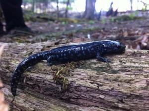Blue-Spotted Salamander. Photo by Matt Ellerbeck