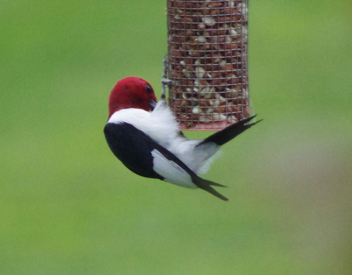 Mature Male Red-Headed Woodpecker